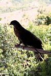 Captive Sulawesi Hawk eagle (Sulawesi - Celebes) -- sulawesi6557
