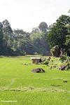Shack in rice fields of Lemo (Toraja Land (Torajaland), Sulawesi)