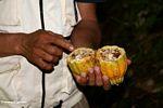 Rotten cacao pod (Toraja Land (Torajaland), Sulawesi)
