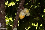Ripening cacao pods still on the tree (Toraja Land (Torajaland), Sulawesi)