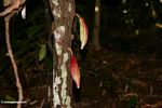 New cacao pods (Toraja Land (Torajaland), Sulawesi)