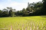 Rice fields at Lemo (Toraja Land (Torajaland), Sulawesi) -- sulawesi6705