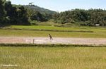 Working in the rice fields (Toraja Land (Torajaland), Sulawesi)