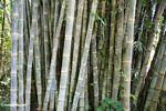 Giant bamboo (Toraja Land (Torajaland), Sulawesi)