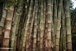 Dendrocalamus giganteus bamboo (Toraja Land (Torajaland), Sulawesi)