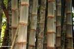 Giant bamboo (Toraja Land (Torajaland), Sulawesi) -- sulawesi6747