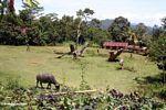 Site of Toraja funerals where cattle are slaghtered (Toraja Land (Torajaland), Sulawesi)