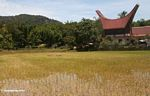 Rice field with red-roofed but traditional Troraja structure in the background (Toraja Land (Torajaland), Sulawesi)
