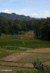 Toraja rice fields (Toraja Land (Torajaland), Sulawesi)