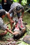Slaughter of a pig at a funeral ceremony in Toraja Land (Toraja Land (Torajaland), Sulawesi)