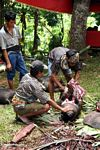 Traditional slaughtering a hog at a funeral ceremony in Sulawesi (Toraja Land (Torajaland), Sulawesi)