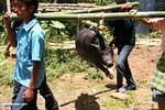 Men carrying pig for slaughter at Tongkonan funeral (Toraja Land (Torajaland), Sulawesi)