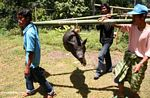 Tongkonan nen carrying hog for slaughter at funeral (Toraja Land (Torajaland), Sulawesi)