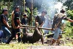 Pig being carried for slaughter (Toraja Land (Torajaland), Sulawesi)