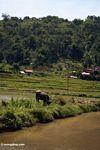 Steer in rice field (Toraja Land (Torajaland), Sulawesi) -- sulawesi6936