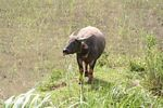 Steer in rice field (Toraja Land (Torajaland), Sulawesi)