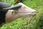 Valuable white steer (Toraja Land (Torajaland), Sulawesi)