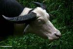 Top breed white water buffalo (Toraja Land (Torajaland), Sulawesi)