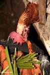 Rooster pecking away at carrots in central market (Toraja Land (Torajaland), Sulawesi)