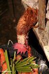 Rooster pecking at carrots in Rantepao market (Toraja Land (Torajaland), Sulawesi)
