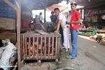 Roosters for sale at market in Rantepao (Toraja Land (Torajaland), Sulawesi)