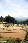 Rice paddies of Batutomonga (Toraja Land (Torajaland), Sulawesi)