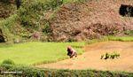 Terraced rice fields of Batutomonga (Toraja Land (Torajaland), Sulawesi) -- sulawesi7152