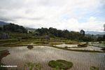 Sky reflected off rice paddy (Toraja Land (Torajaland), Sulawesi)