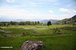 Rice fields near Batutomonga village  (Toraja Land (Torajaland), Sulawesi) -- sulawesi7185