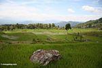 Rice paddies near Batutomonga village  (Toraja Land (Torajaland), Sulawesi) -- sulawesi7186