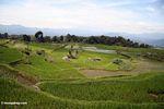 Rice paddies near Batutomonga village  (Toraja Land (Torajaland), Sulawesi) -- sulawesi7194