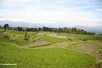 Rice paddies near Batutomonga village  (Toraja Land (Torajaland), Sulawesi) -- sulawesi7198