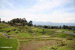 Rice fields near Batutomonga village  (Toraja Land (Torajaland), Sulawesi) -- sulawesi7199