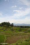 Rice paddies near Batutomonga village  (Toraja Land (Torajaland), Sulawesi) -- sulawesi7200
