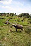 Water buffalo in rice paddy at Batutomonga  (Toraja Land (Torajaland), Sulawesi)