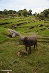 Water buffalo in rice paddy near Batutomonga village  (Toraja Land (Torajaland), Sulawesi)