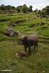 Water buffalo in rice field near Batutomonga village  (Toraja Land (Torajaland), Sulawesi)