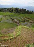 Rice fields at Batutomonga  (Toraja Land (Torajaland), Sulawesi)