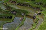 Rice paddies at Batutomonga  (Toraja Land (Torajaland), Sulawesi) -- sulawesi7215