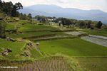 Rice paddies at Batutomonga  (Toraja Land (Torajaland), Sulawesi)