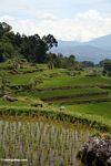Rice fields at Batutomonga  (Toraja Land (Torajaland), Sulawesi) -- sulawesi7220
