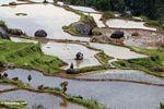 Men tilling rice field at Batutomonga  (Toraja Land (Torajaland), Sulawesi)