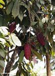 Red cacao pod (Toraja Land (Torajaland), Sulawesi) -- sulawesi7268