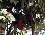 Red cacao pods (Toraja Land (Torajaland), Sulawesi)
