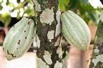 Green cacao pods (Toraja Land (Torajaland), Sulawesi) -- sulawesi7270