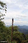 Bamboo shoot (Toraja Land (Torajaland), Sulawesi)
