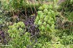 Manioc plants (Toraja Land (Torajaland), Sulawesi)