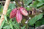 Three ripe cacao pods (Toraja Land (Torajaland), Sulawesi)