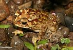 Yellow toad with brown, black, and rust-colored markings (Toraja Land (Torajaland), Sulawesi)
