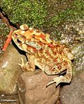 Yellow and brown toad with black markings (Toraja Land (Torajaland), Sulawesi)